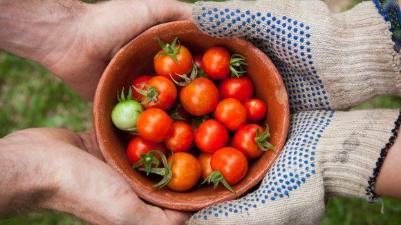 Regionale, handwerklich und fair erzeugte Produkte wandern bei den Wertewochen in deine Hände. Wie diese Tomaten vom Bauern.
