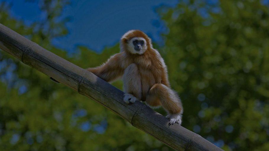 Weißhandgibbon Abend-Führung Tierpark