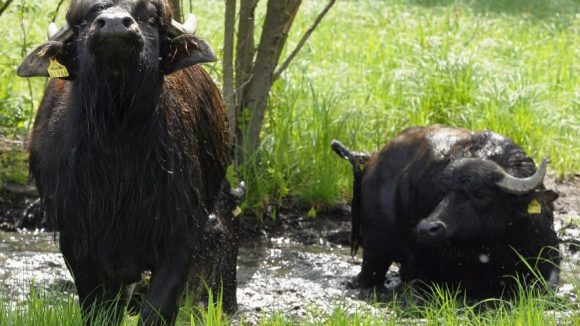 Wasserbüffel gibt es nicht nur in Kremmern, auf der Pfaueninsel gehen jedes Jahr einige Exemplare in die Sommerfrische.