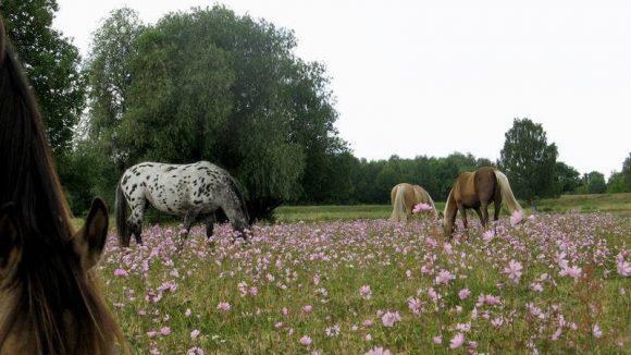 """Grasende Pferde. Sie tragen zur Pflege der Weidelandschaft """"Parks Range"""" bei."""