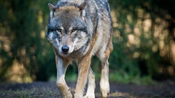 Selbst wenn sie es bis in die Hauptstadt geschafft haben sollten - Angst müssen die Berliner vor den scheuen Wölfen nicht haben.