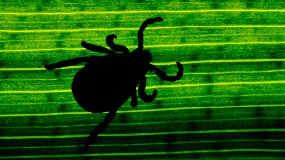 Du magst keine Spinnen? Dann wirst du die Zecke hassen! Und Mücken und Motten eventuell auch ...