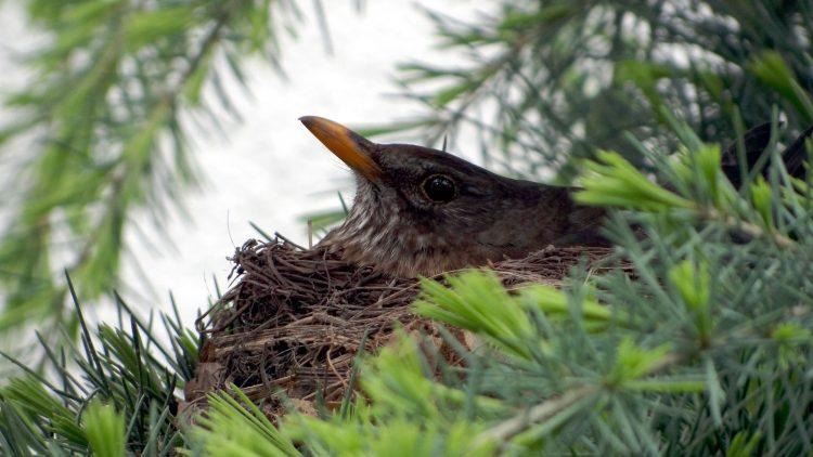 Kopf einer jungen Amsel schaut aus Nest zwischen Tannenzweigen