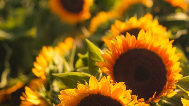 nahe Aufnahme von mehrere Sonnenblumen