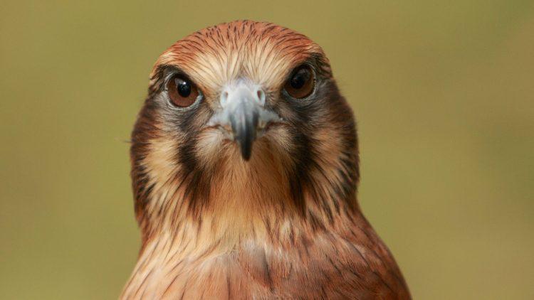 Falke schaut in die Kamera