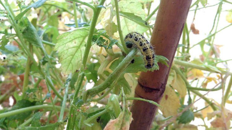 grün-schwarze Raupe eines Tagpfauenauges frisst an den Blättern einer Brennnessel