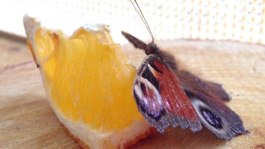 Ein Tagpfauenauge frisst an einem Stück Orange