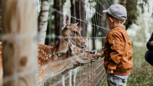 Ein kleiner Junge steht an einem Drahtzaun iund füttert drei junge Rehe mit Obst.