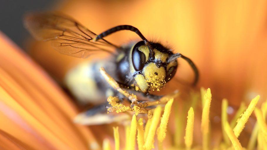 Closeup einer Wespe die auf einer Blüte sitzt und Pollenstaub an Beinen und Kopf hat.
