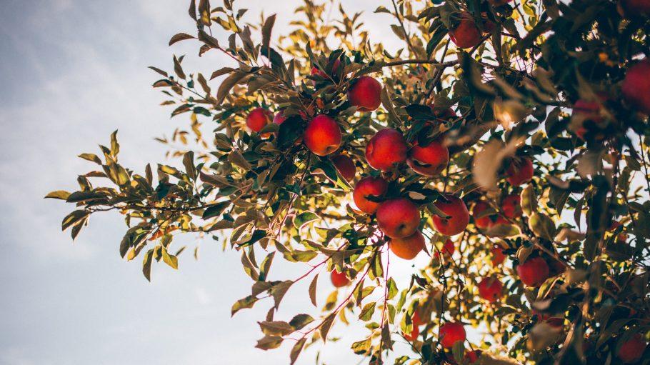 Apfelbaum mit roten Äpfeln von unten fotografiert, darüber blauer Himmel