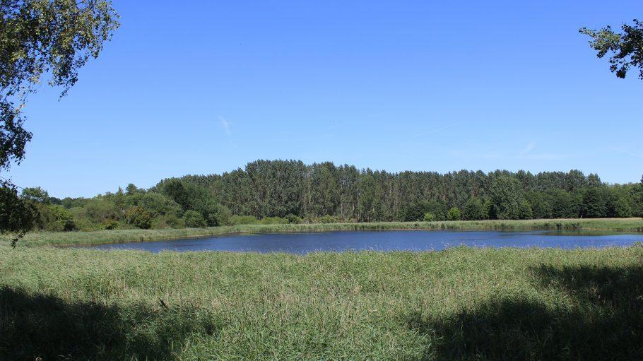 Teich unter blauem Himmel, im Hintergrund kleines Wäldchen, im Vordergrund Schilf (Ententeich in Pankow)