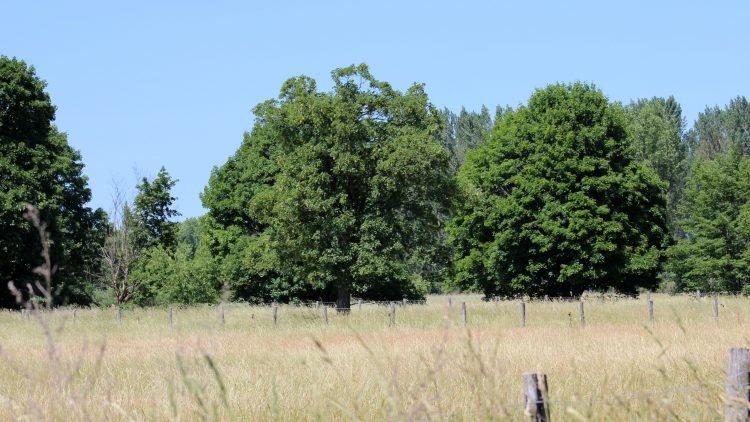 Hohes Gras und Getreide wächst auf einem umzäunten Feld, dahinter stehen Bäume (Naturschutzgebiet Karower Teiche)