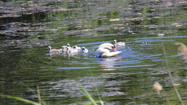 Schwan schwimmt mit sieben Küken auf einem Teich