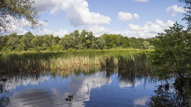 See mit Schilfsaum unter blauem Himmel mit weißen Wolken, auf dem See zwei Enten.