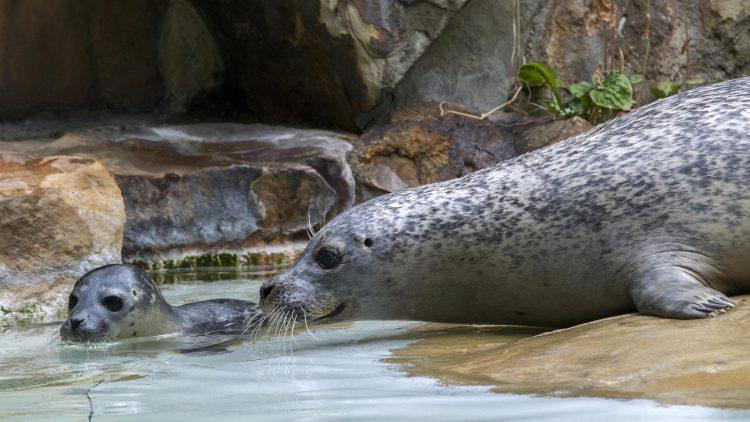 Seehundmama mit Jungtier im Wasser in Zoogehege vor Felsen