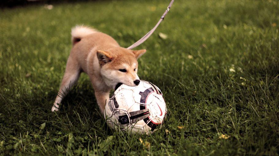 Kleiner braun-weißer angeleinter Hund beißt auf Wiese in einen Fußball
