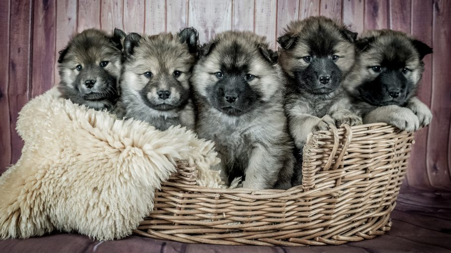 Sechs grau-schwarze Hundewelpen sitzen in Korb mit Schaffell