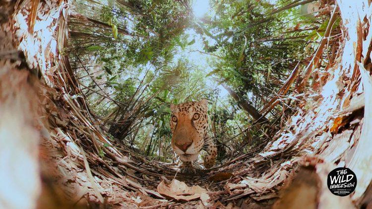 Film-Still: Gepard im Dschungel schnuppert an Filmkamera