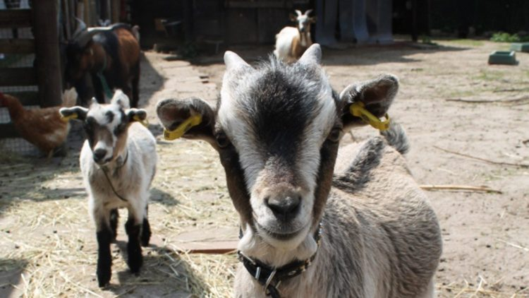 Kleien süße Ziegen schauen in die Kamera.