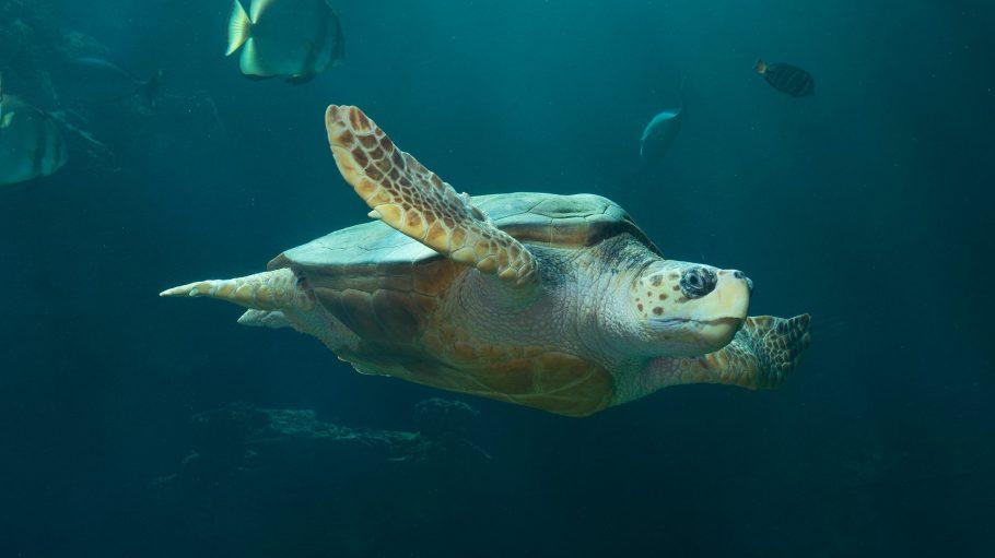 Ein Schildlkröte, die ganz nah am Fenster vorbeischwimmt.