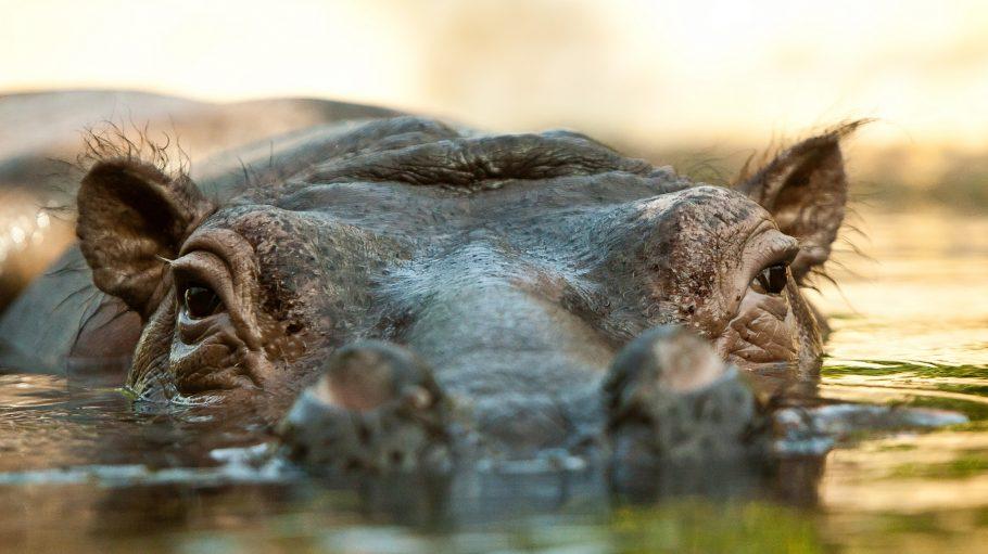 Flusspferd Kopf im Wasser
