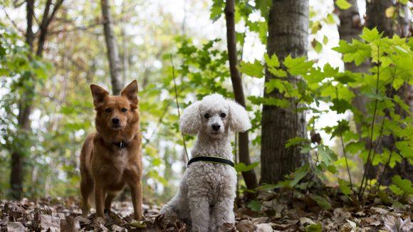 Zwei Hunde im Wald, die in die Kamera schauen