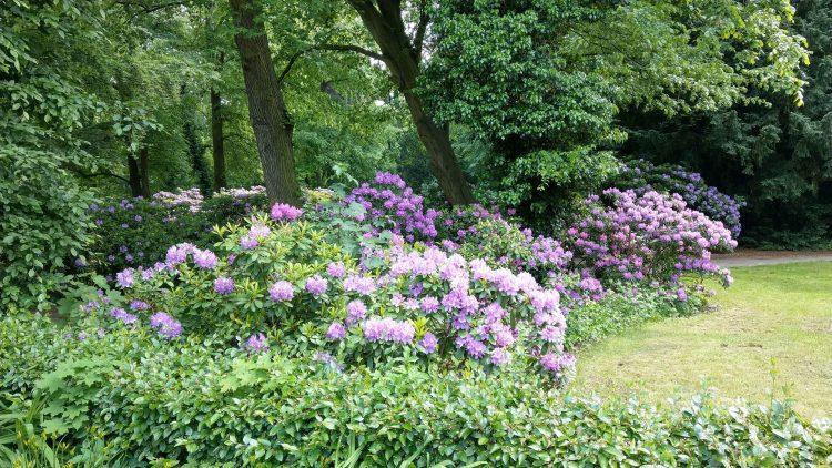 Blumensträucher mit lila Blüten unter Bäumen neben einer Wiese