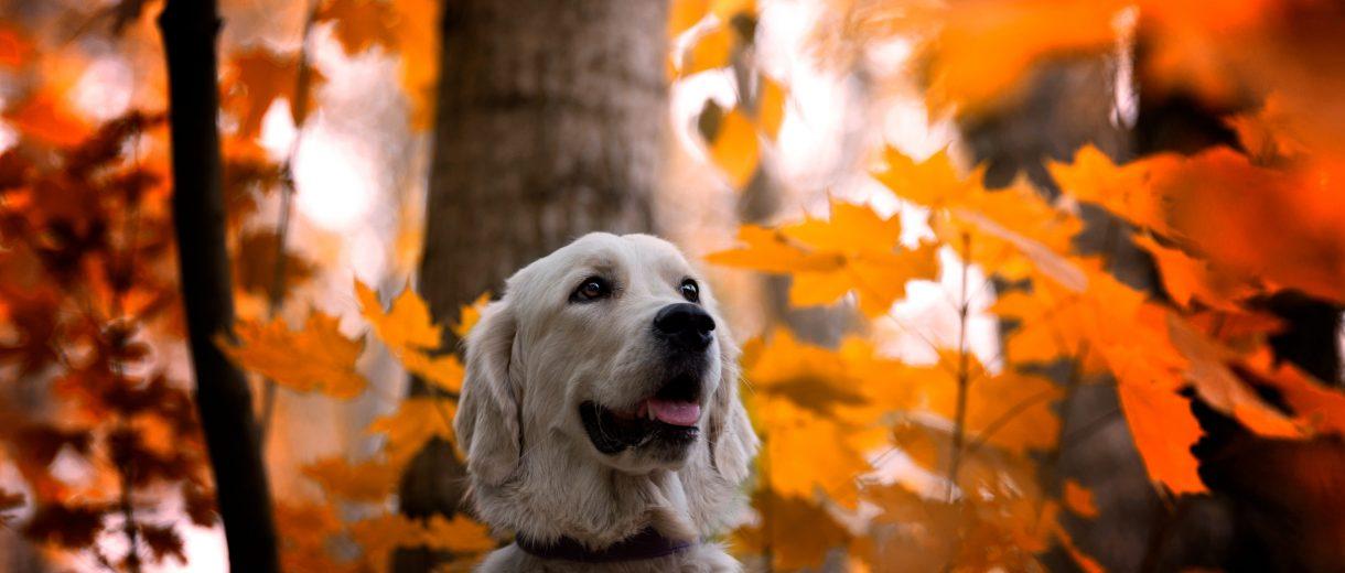Ein weißer Golden Retriever steht neben orangenen Herbstblättern im Wald.