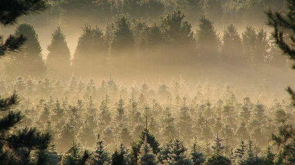 Nadelbäume in einer Schonung im Nebel, dahinter größere Bäume