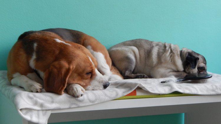 Hunde liegen auf Kommode