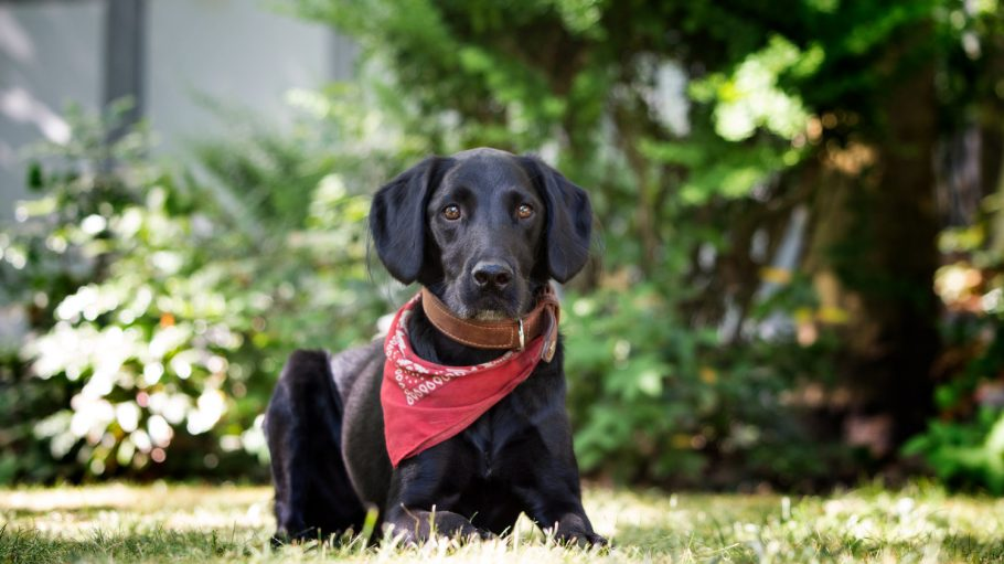Schwarzer Hund mit rotem Halstuch liegt auf Wiese