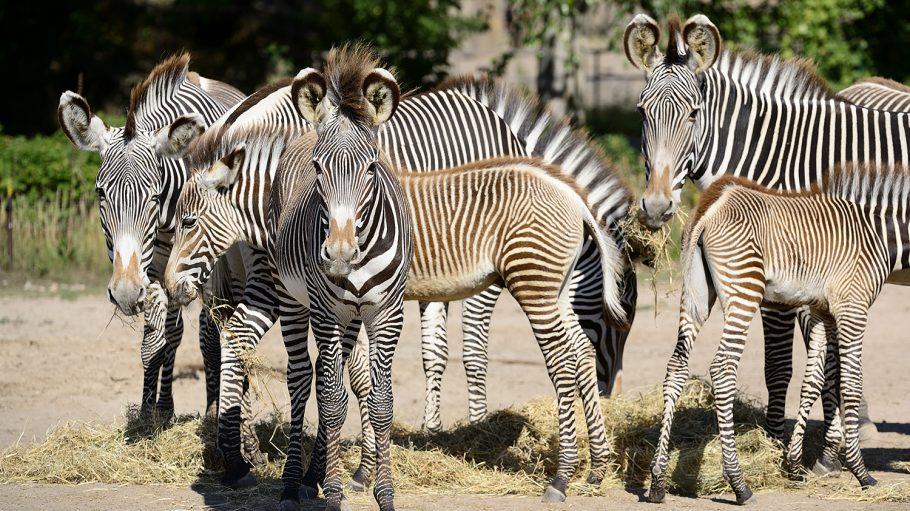 Zebras im Tierpark
