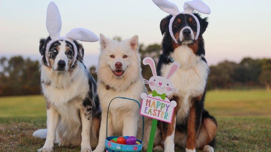 Hunde mit Hasenohren zu Ostern