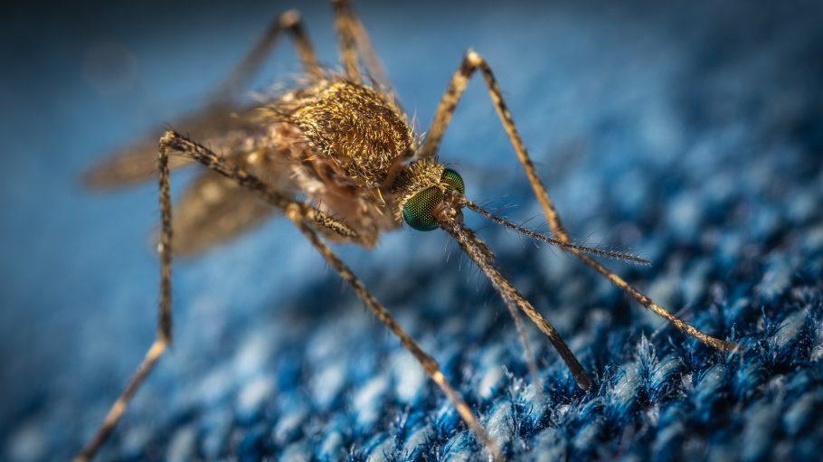 Mücke in Großaufnahme