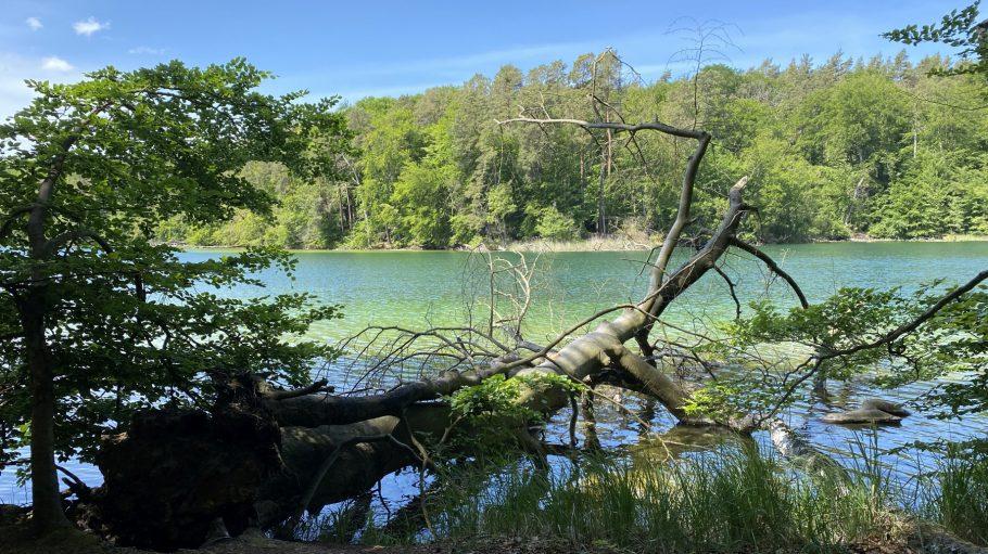 Großer Stechlinsee mit klarem Wasser, umgefallener Baum ragt ins Wasser, bewaldetes Ufer gegenüber
