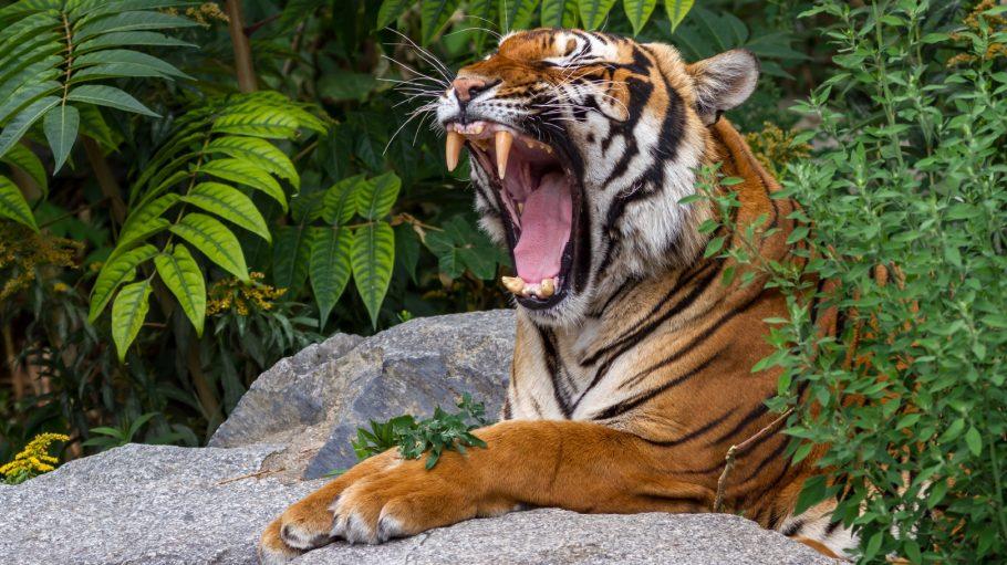 Tiger reißt Maul auf und gähnt auf Stein gestützt