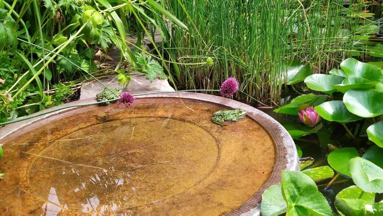 Zwei grüne Frösche mit schwarzen Punkten sitzen in Wasserbecken, im Hintergrund Wasserpflanzen