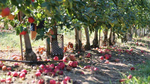 Äpfel am Baum und am Boden darunter
