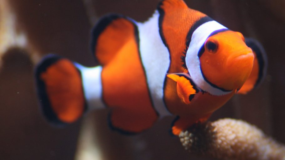 Clownfisch im Aquarium