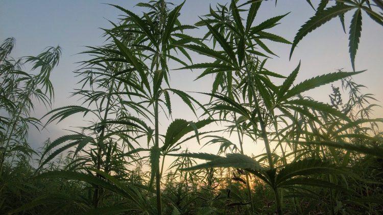Cannabispflanzen auf dem Feld