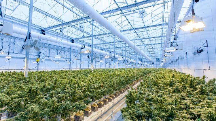 Cannabis im Anbau