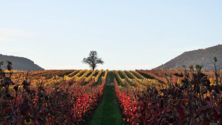 Wie im Märchen: Im Herbst explodieren die Farben in den Weinbergen der Pfalz.